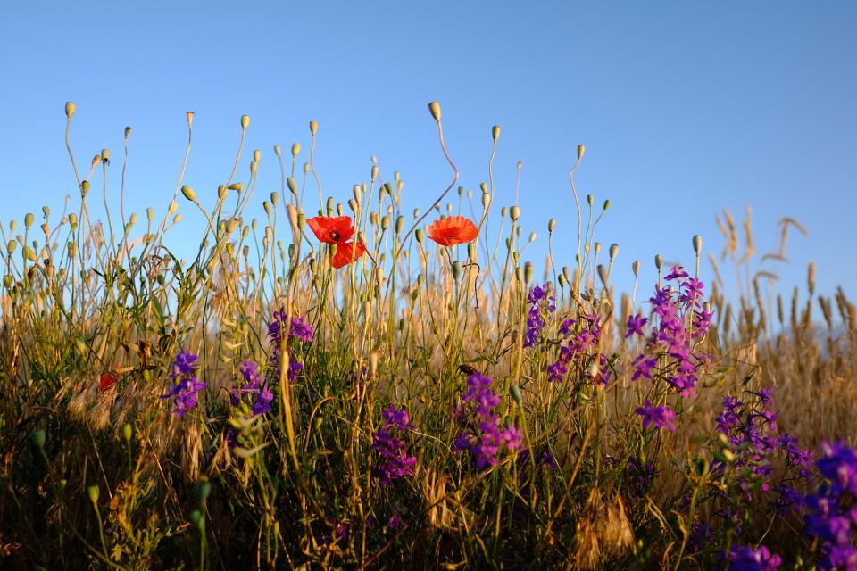 nature landscape green field flower red petal violet autumn fall