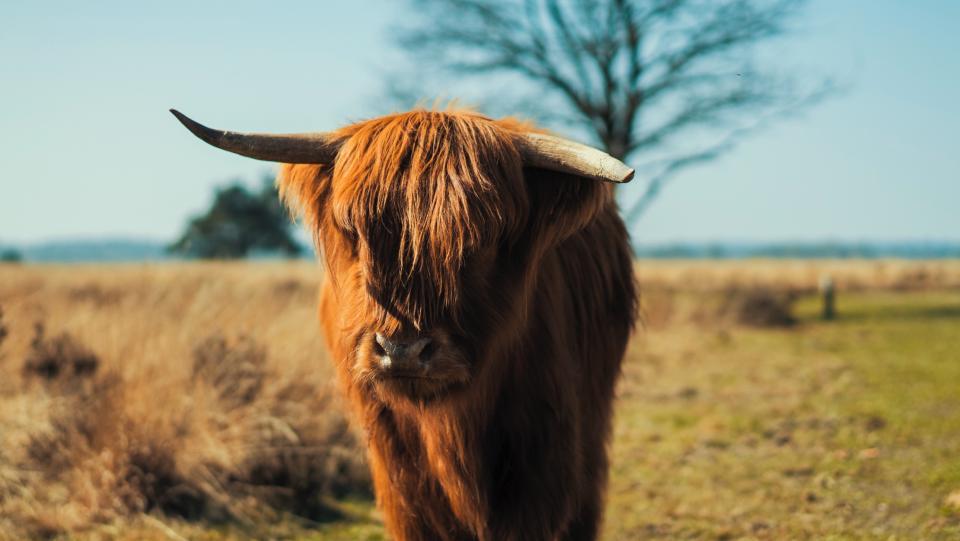 fur horn brown calf animal wildlife green grass field farm outdoor sky