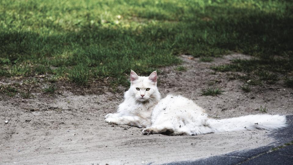cat animal kitten cute white eyes whiskers ground green grass