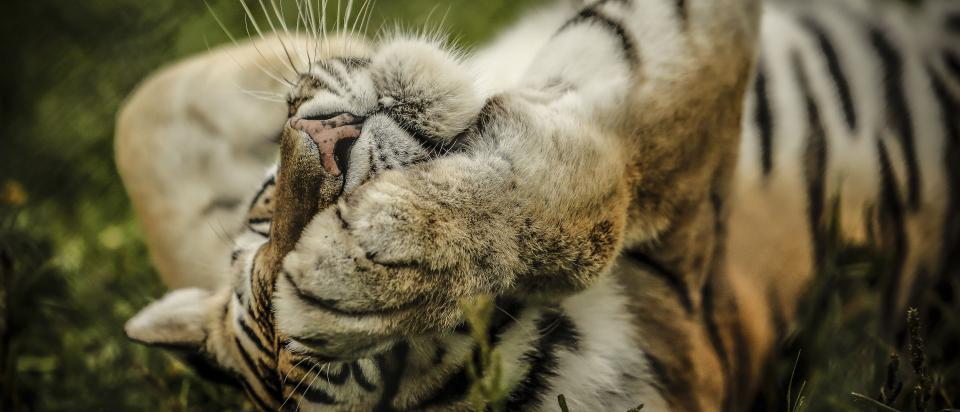 tiger cat animal wildlife carnivore stripes green grass