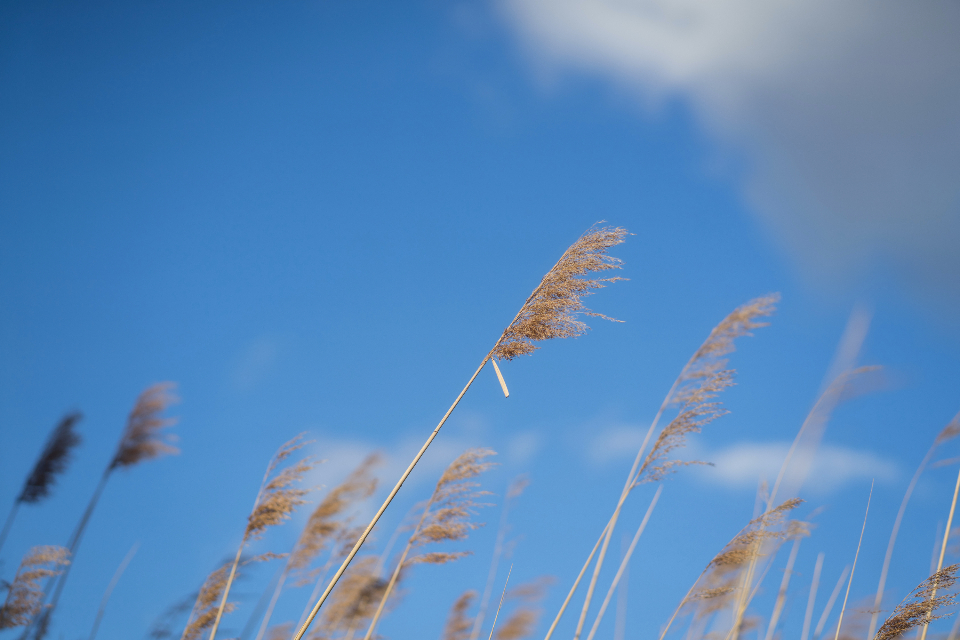 reeds blue sky clouds nature agriculture farm summer