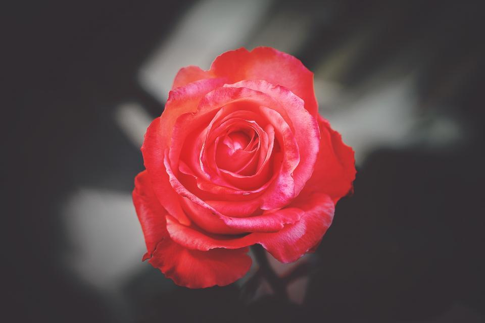 flower red petal bloom garden plant nature autumn fall rose