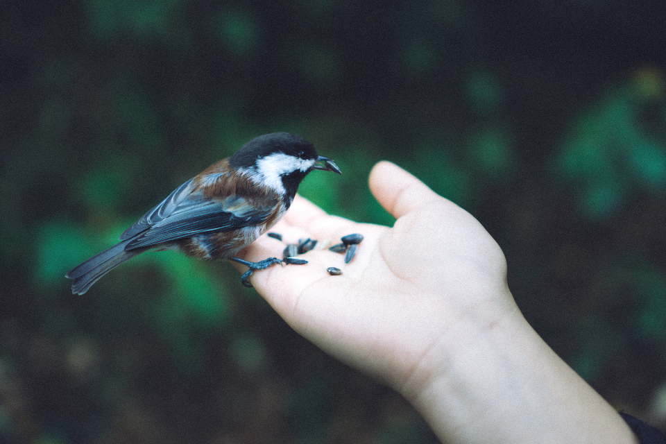 Chickadee bird hand nature green seed feed food love British Columbia Canada